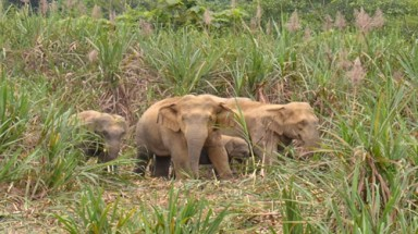 Nghe An's people unprotected from wild elephants