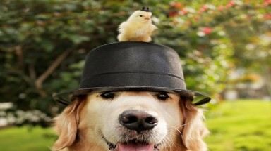 Sweet Photos of a Senior Golden Retriever Snuggling with Baby Chicks