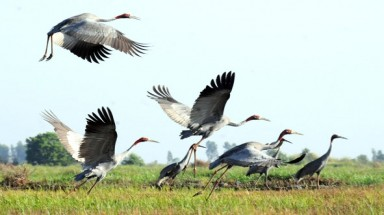 Red-headed cranes leave Vietnam for Cambodia