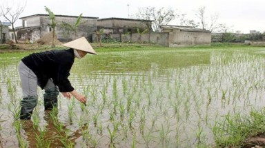 New rice variety boosts Nam Dinh hopes