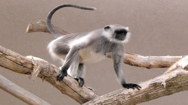 Poachers prosecuted for killing langurs