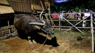 The three-horn buffalo in Ben Tre