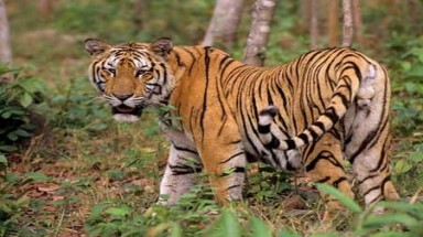 Tigers appear in Yen Bai Province
