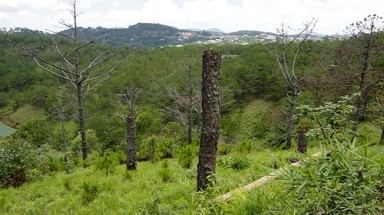 Pine forests disappear, Da Lat gets ragged