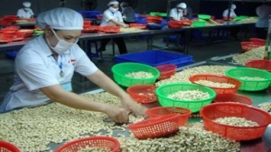 Processors seek to develop cashew nut industry