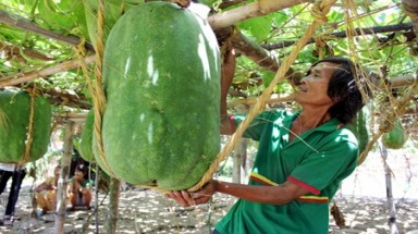 Giant winter melons fail to bring a profit