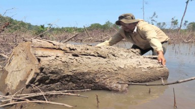 Tra Vinh province: protective forest ravaged for firewood