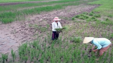 Saltwater affects 20,000ha of rice land in Ca Mau