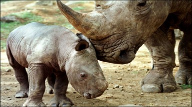 Ministry of Health joins efforts to save rhinos: Call to cease use of rhino horn for medical purposes