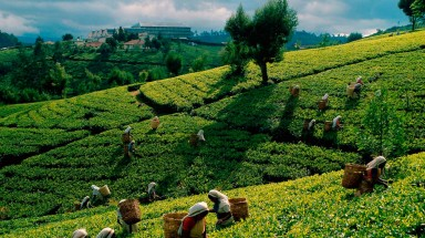 Project to develop natural tea varieties and secure supply for the future