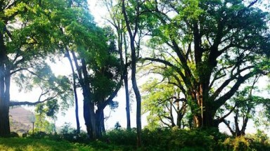 Old banyan copse becomes national heritage