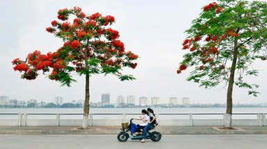 Phoenix flowers dress up Hanoi city streets