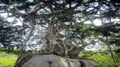 Refusing big sums, locals vow to protect ancient fig tree