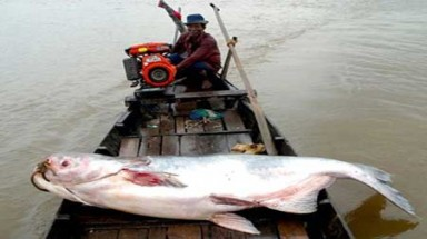 Giant catfish caught in Tien River in Mekong Delta