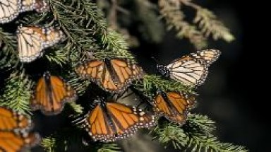 Monarch butterfly uses magnetic