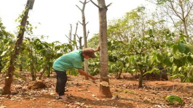 "Farmers clear rubber plantations as ""white gold"" no longer glitters"