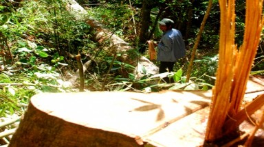 Old forests cut down as Chinese traders order unripe beans
