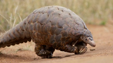 Vietnam joins hands to prevent pangolin trade