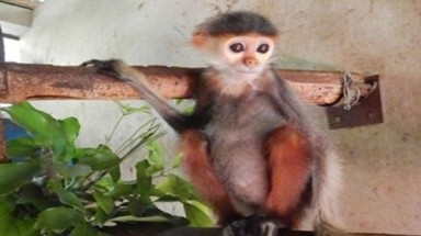 Douc langur handed over to national park