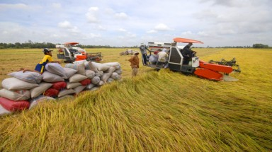 Mekong Delta enjoys bumper summer-autumn rice crops