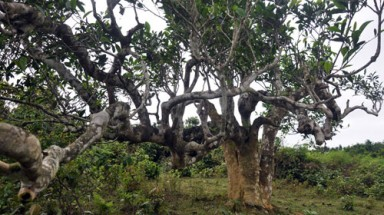 Ancient Shan Tuyet Tea trees recognised as heritage tree