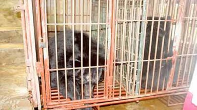 Bears killed as bear bile price drops