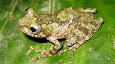 Another shrub frog species discovered in Vietnam