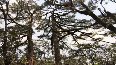 Fansipan fir and rhododendron trees to be honoured