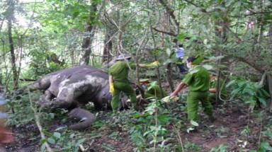 Elephants die of starvation in Vietnamese forests