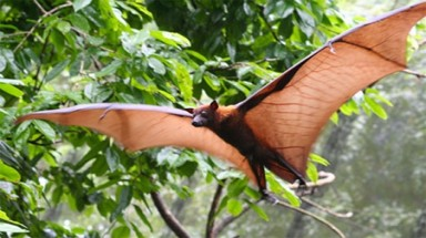 Habitat loss threatens survival of large flying foxes