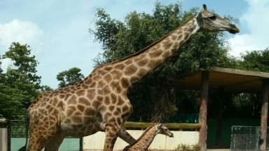 African giraffe gives birth at Vietnam zoo