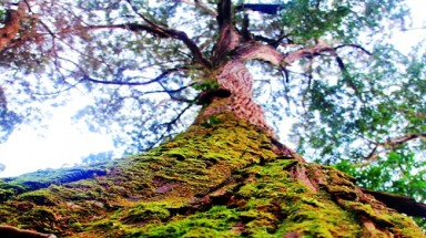 Quang Nam's fokienia forest recognised as heritage tree