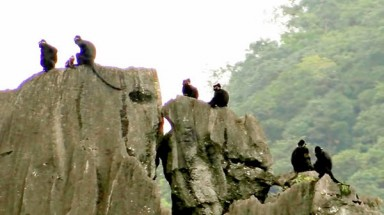 Tender of endangered langurs in Thiet Son Mountains