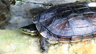 Quang Ngai to build a turtle rescue center