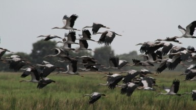 8,000 Asian openbill storks fly to Tram Chim National Park