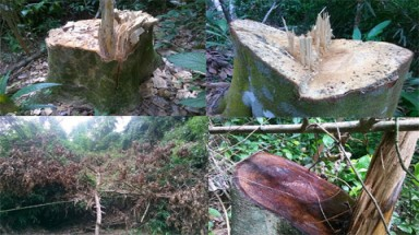Protective forests destroyed, as forest-ranger units refuse to investigate