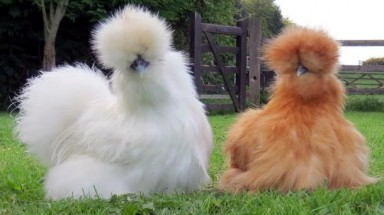 Expensive silkie chickens attract wealthy customers in Vietnam