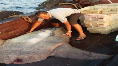 300-kg rare ocean sunfish caught off central Vietnam