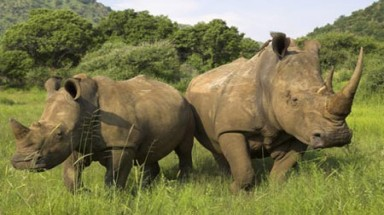 Viet Nam must tackle rhino horn trade or face sanctions