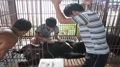 New study raises alarm over bear bile farming in Lao PDR