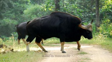 Binh Thuan: Protecting gaur on the endangered list