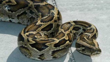 Endangered pythons released into the wild