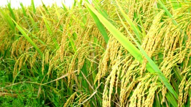 Vietnam to expand low-carbon rice farming model