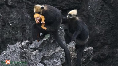 New babies give small population of Cat Ba Langur hope