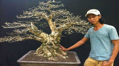 Nguyen Hai Phong – king of bonsai