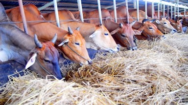 Soc Trang Expands Dairy Farming