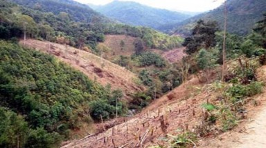 Illegal logging destroys Dak Lak pine forest