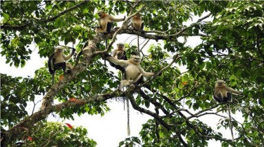 Highest number of Tonkin snub-nosed monkeys recorded in Ha Giang: survey